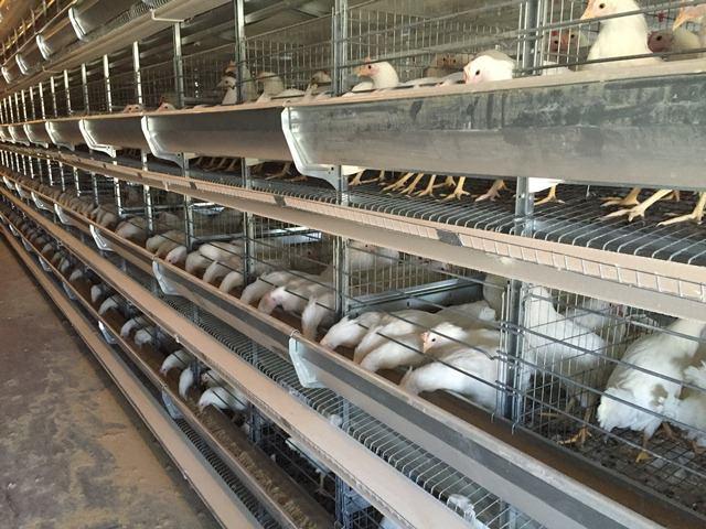 خرید قفس مرغ تخمگذار صنعتی و فروش قفس باتری تمام اتومات گالوانیزه