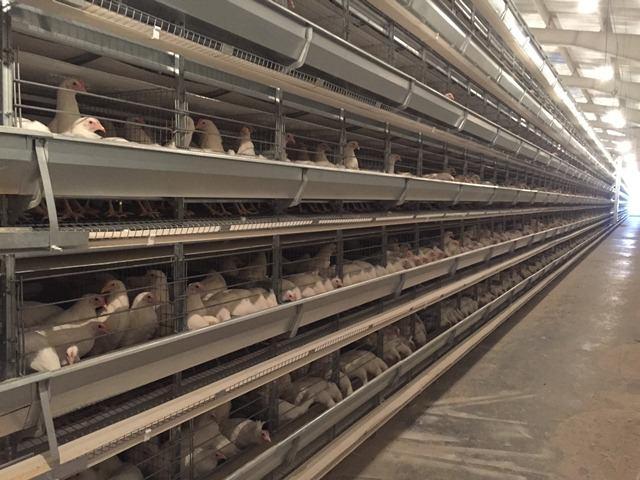 خرید قفس مرغ تخمگذار صنعتی و فروش قفس منبری یا پله ای