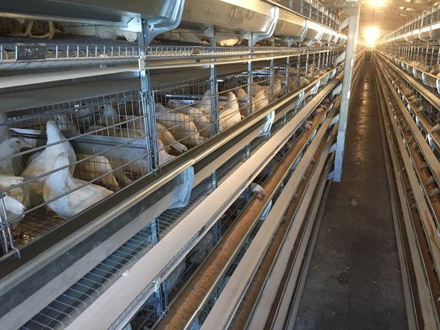 خرید قفس مرغ تخمگذار باتری تمام اتومات