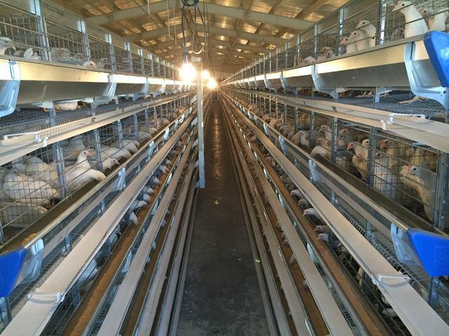 خرید قفس مرغ تخمگذار | قیمت قفس مرغ تخمگذار